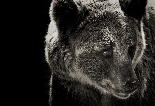 Mais on n'a jamais vu un grizzly bleu !